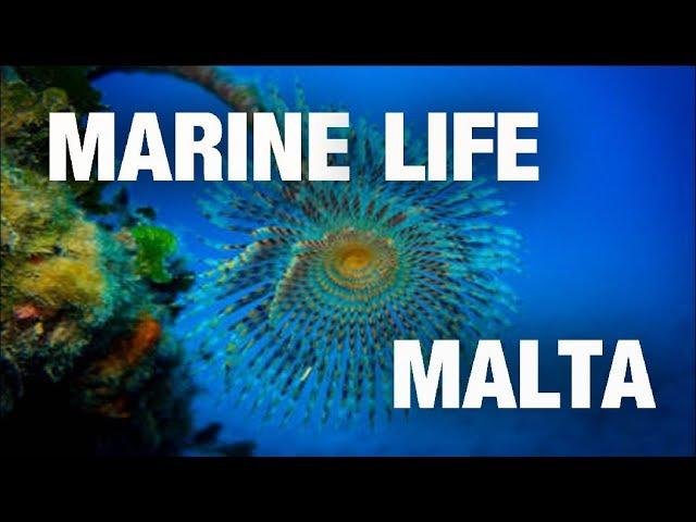 Diving in Malta, Comino, Gozo: MARINE LIFE