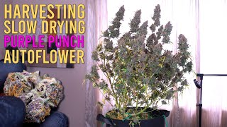 HARVESTING & SLOW DRYING OVER A QUARTER POUND OF PURPLE WEED FROM 1 AUTOFLOWER PLANT