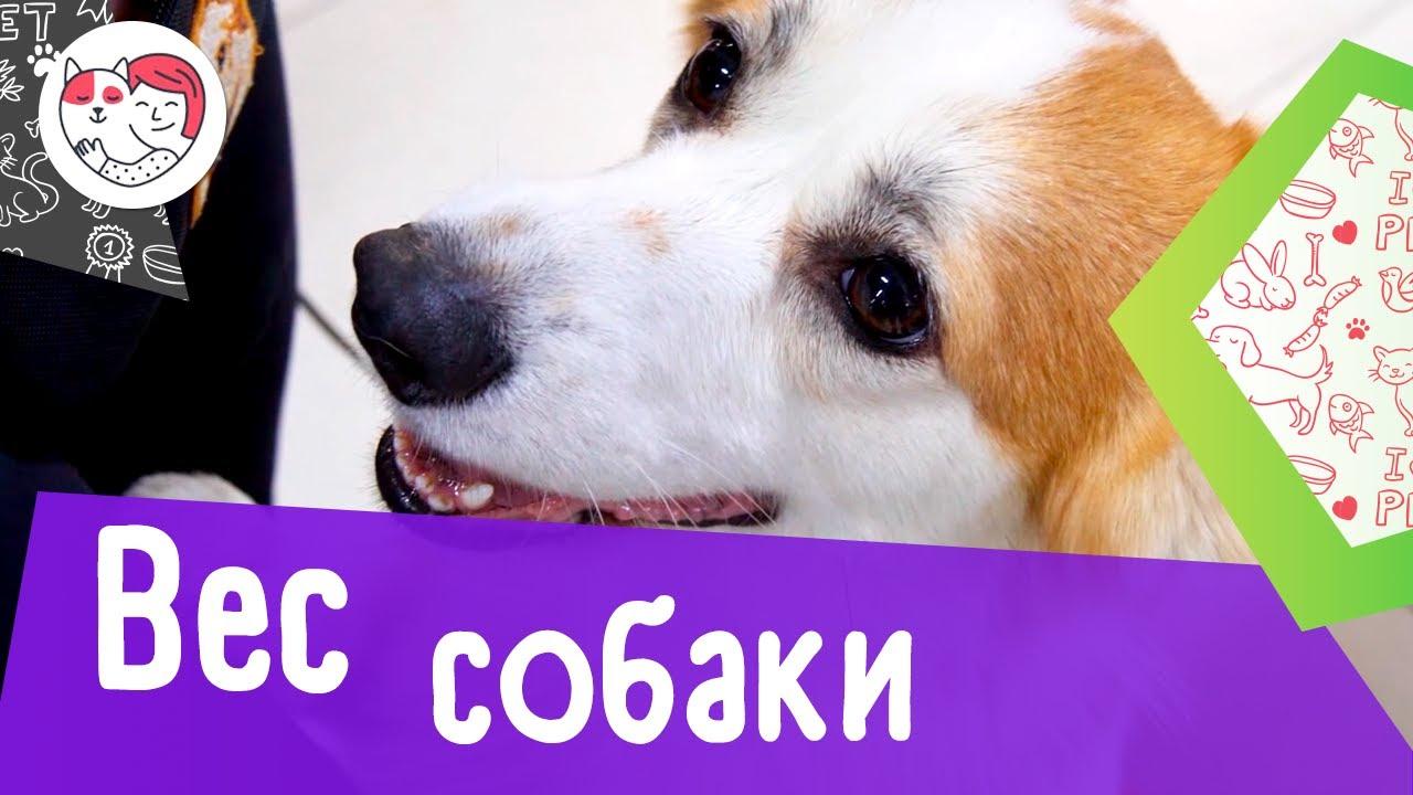 4 популярных вопроса про вес собак