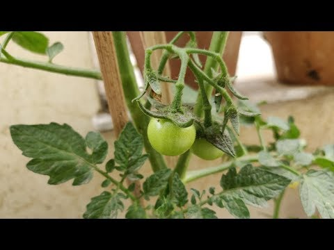 , title : '5 Powerful Tips For Growing More Tomatoes in Containers (Hindi) / Tomato Plant - Vegetable Gardening