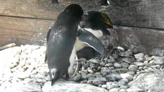 Macaroni Penguins and Chick at Torquay Living Coast  23 Jun 2010