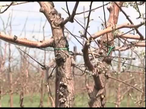 В Приволжском районе заложили новый яблоневый сад площадью 30 га