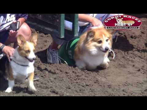 7 Rounds of Corgis Running in Canterbury Park Corgi Races