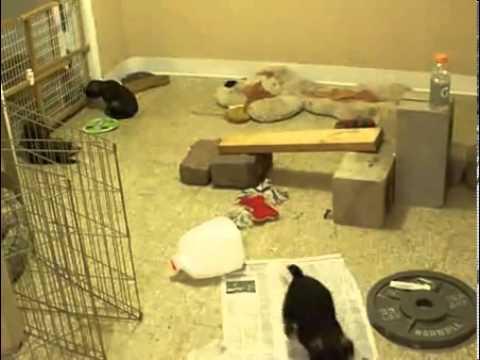 Gateway Border Terriers