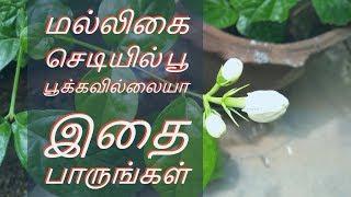 மல்லிகை செடியில் பூ பூக்கவில்லையா இதை பாருங்கள் | Tips To Bloom Jasmine Flower !!