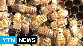수십만 마리가 갑자기...日 대규모 꿀벌 실종 사건 / YTN