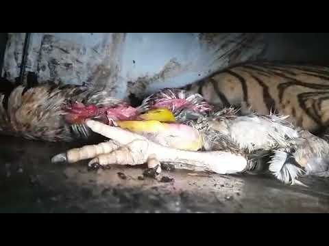 Foto dan Video Detik-detik Evakuasi Harimau Bonita, Butuh Waktu Belasan Jam