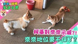 【柴犬Nana(奈奈)】柯基對奈奈示威?!奈奈地位要不保了?