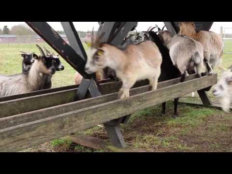 Fodringstid hos gederne
