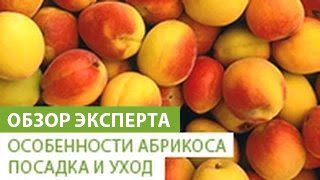 Уход за абрикосом весной на урале