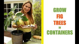 GROW A FIG TREE IN A POT FOR MAXIMUM FIGS! Shirley Bovshow