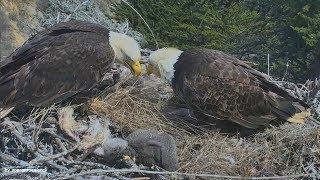 Bald Eagles CAN Predict Earthquakes!? ~ 5.3 Earthquake California Live On Sauces Eagle Cam 4.5.18