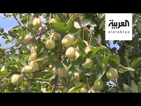 العرب اليوم - شاهد: قلقيلية الفلسطينية تستبدل حمضياتها بالفواكه الاستوائية