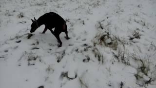 Доберман Хан,утро и снег.