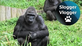 Gorilla Clapping As She Gets Her Food