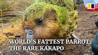 Hope for 'world's fattest' parrot as endangered kakapo have record-breaking breeding season