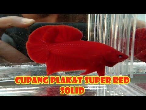 CUPANG PLAKAT SUPER RED SOLID