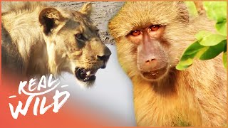 Valley Of The Golden Baboons [Monkey Documentary] | Real Wild