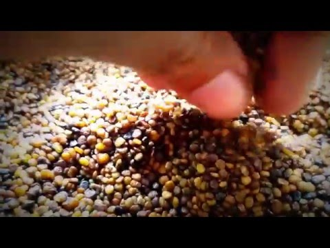 Video Indigofera Seeds