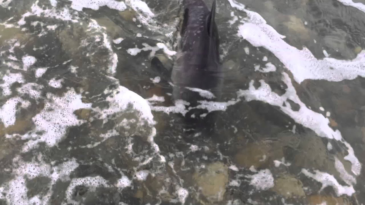 Dog Saves Baby Dolphin on Criccieth Beach