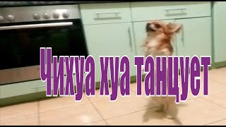 Chihuahua dancing Bellissimo.Чихуахуа танцует Bellissimo.