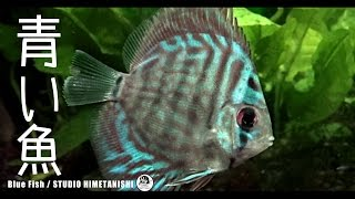【アクアリウム】ディスカスがやってきた【熱帯魚・水槽】