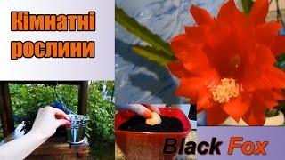 Мої кімнатні рослини | Ландшафт біля будинку | Black Fox