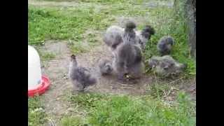 preview picture of video 'Seidenhühner mit Bart, silber-wildfarbig, Jungtiere'