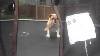WATCH: Bulldog on a trampoline