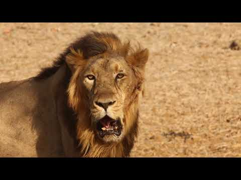 Lions Morning | lion roar | Angry lion