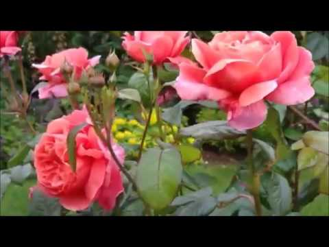 Jacek Lech - Ballada O Dzikiej Róży