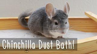 Chinchilla Dust Bath!