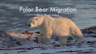 Polar Bear Migration Fly-In Safari - Arctic Kingdom