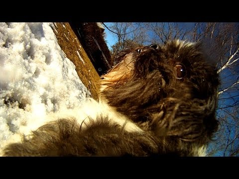 Dog  Mount / Fetch Harness Fail With Shipoo Indy (GoPro Canada 2014)