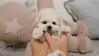 Bichon Frise - Funny and Cute Moments - CuteVN - Nicholas