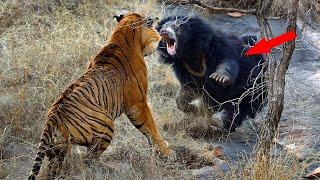 Медведь в деле! Версус медведь против тигра, пумы, кабана, оленя и даже моржа!