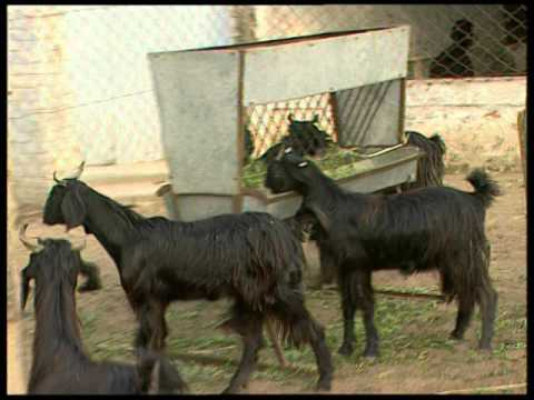 Video Goat Diseases their Symptoms, Prevention and Treatments