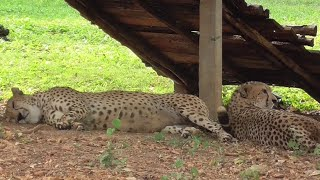 Cheetahs Sleeping On Earth