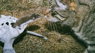Кот и ласка (the cat and the weasel)