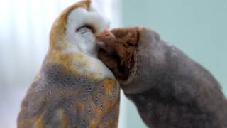 Best Owl Friends / Barn Owl