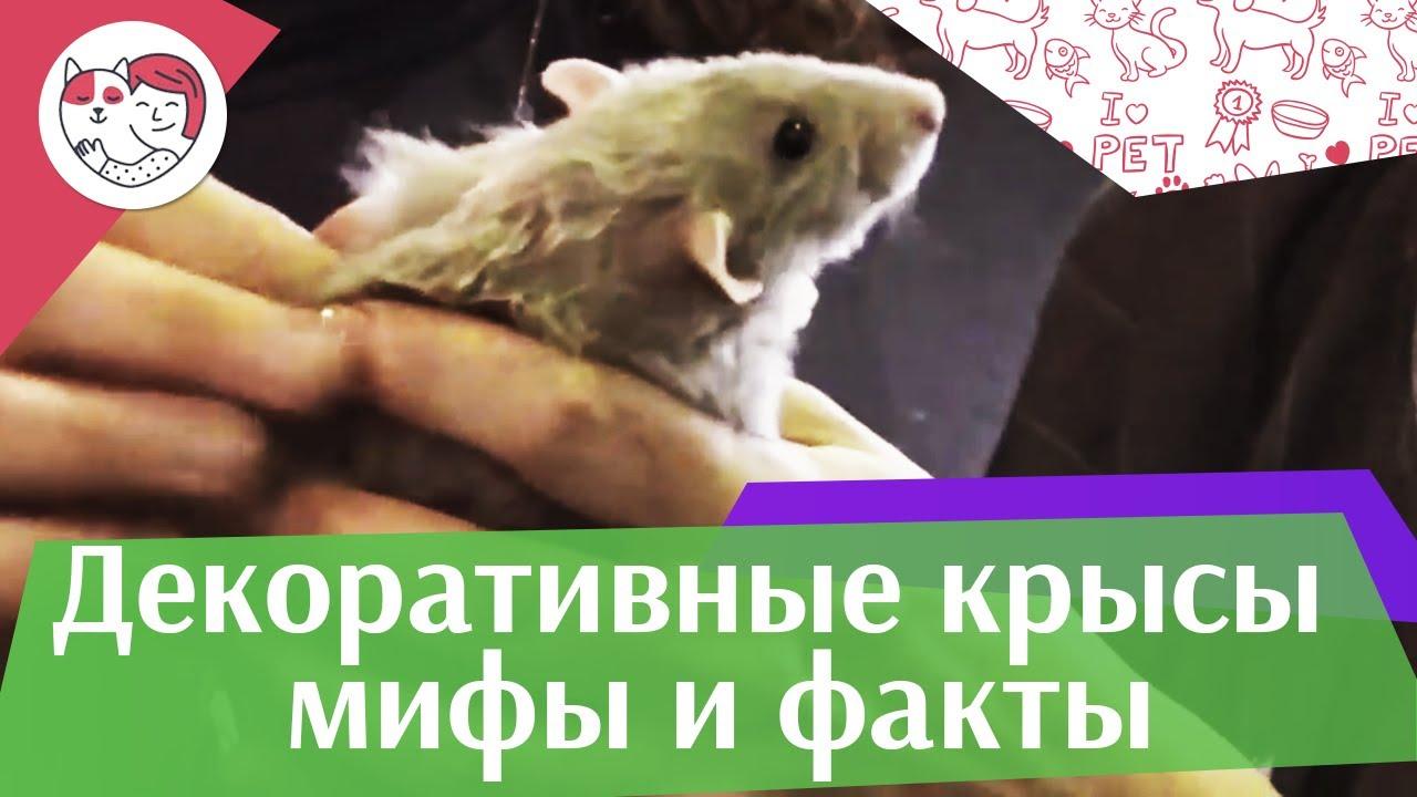 Популярные мифы о декоративных крысах на ilikepet