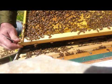 пчеловодство . часть 1 осмотр и работа с пчёлами 14/2/2016