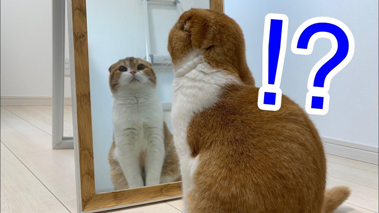 鏡に映るイケメン子猫の反応が面白い【スコティッシュフォールド】