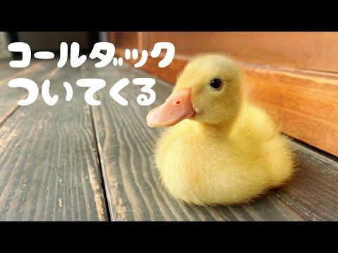 , title : 'ついてくるアヒルの赤ちゃんが可愛すぎる【コールダック飼育】