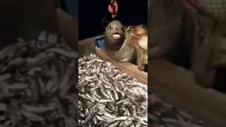 Наглый тюлень