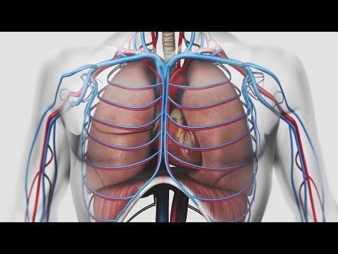 2 fonctions principales des muscles