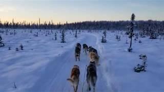 Free Range Sled Dogs