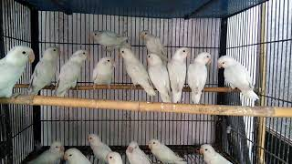 albino red eyes lovebird for sale in lahore - मुफ्त