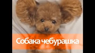 Собака оборжака - чебурашка
