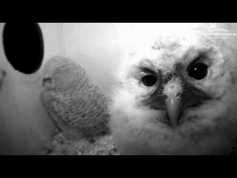 Tawny Owls: Looking at Camera - 23.04.17